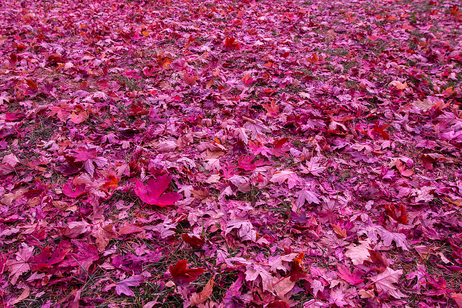 Leaves Photograph - Pink Leaves by Abdullah Alnassrallah