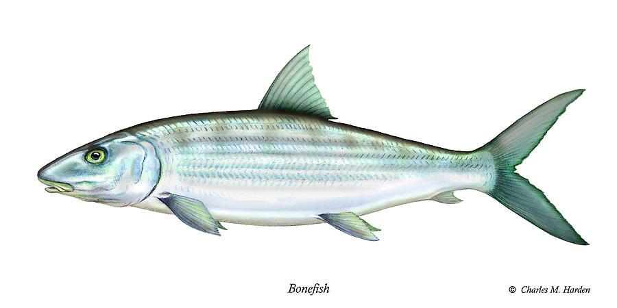 Charles Painting - Bonefish by Charles Harden