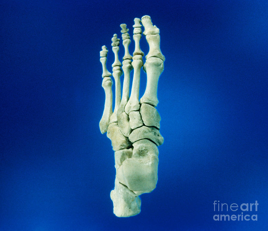 Bones, Left Foot, Superior View Photograph by VideoSurgery