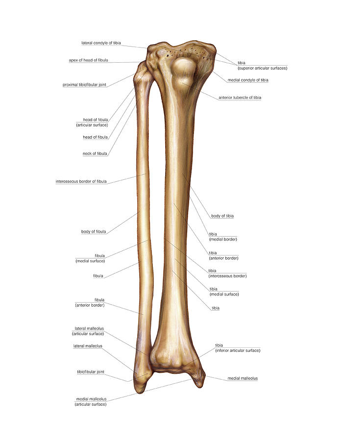Bones Of The Leg Photograph By Asklepios Medical Atlas