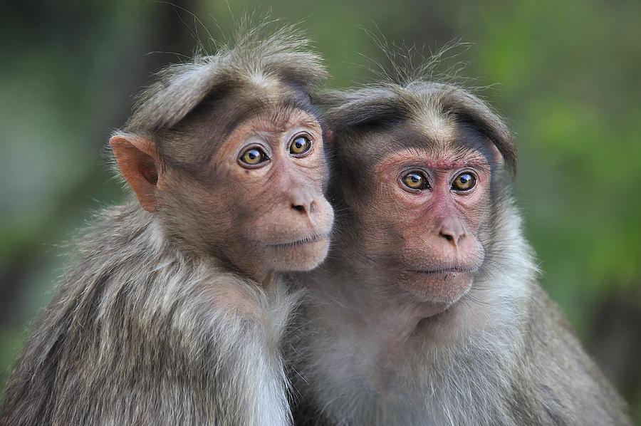 Bonnet Macaque Pair Huddling India Photograph by Thomas Marent