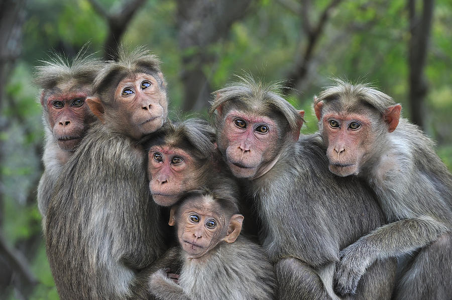 Bonnet Macaques Huddling Western Ghats Photograph by Thomas Marent