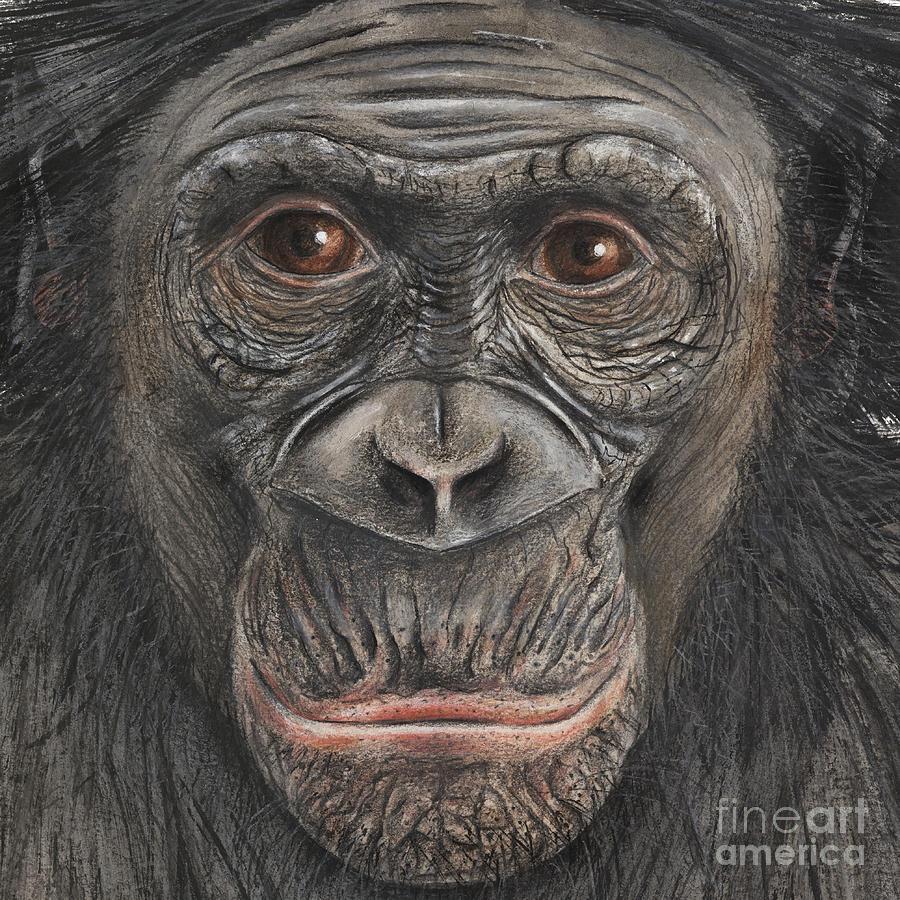 Bonobo Face - Pygmy Chimpanzee - Pan Paniscus - Fine Art Print - Stock Illustration - Stock Image Painting