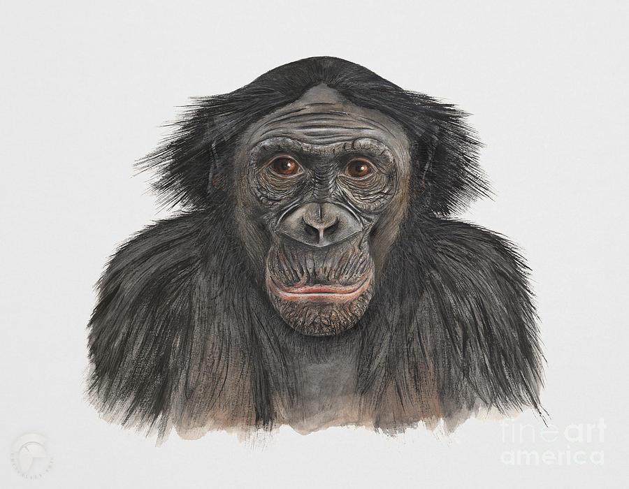 Bonobo Or Pygmy Chimpanzee - Pan Paniscus - Primates Painting