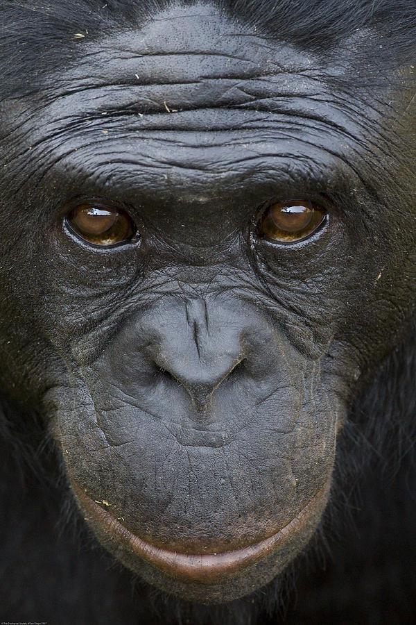 Bonobo Portrait Photograph by San Diego Zoo