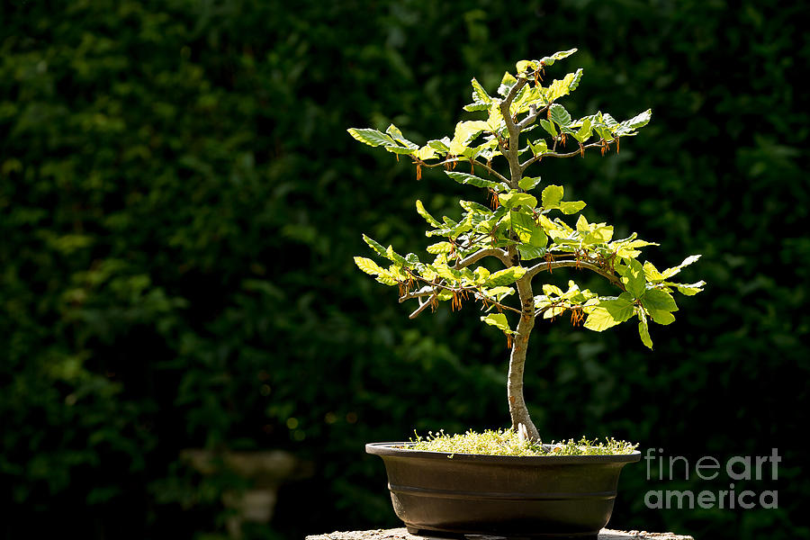 Bonsai Photograph - Bonsai by Jane Rix