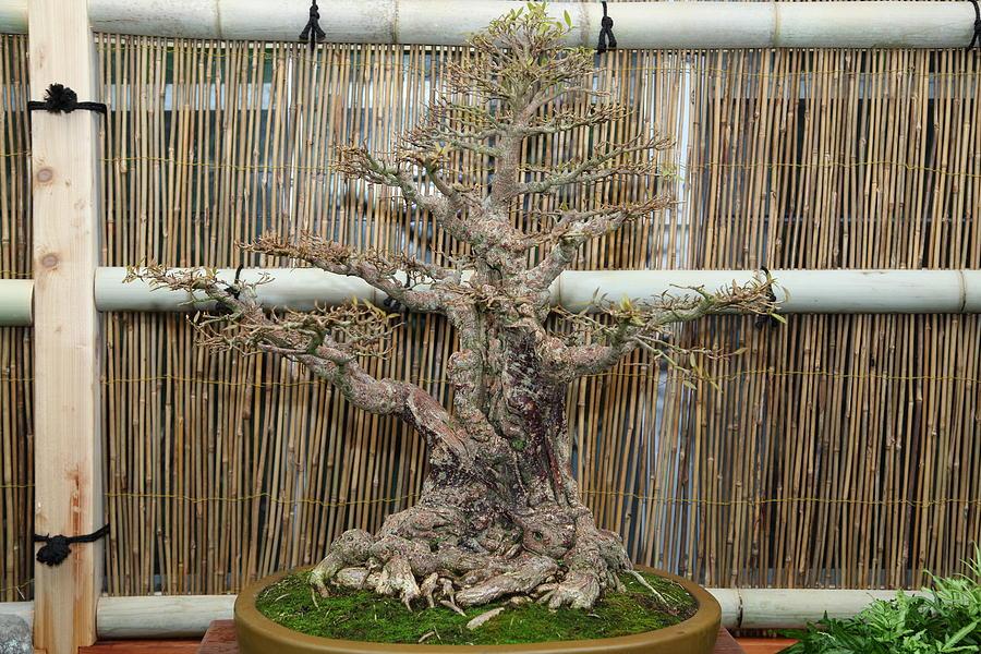 Washington Photograph - Bonsai Treet - Us Botanic Garden - 01136 by DC Photographer
