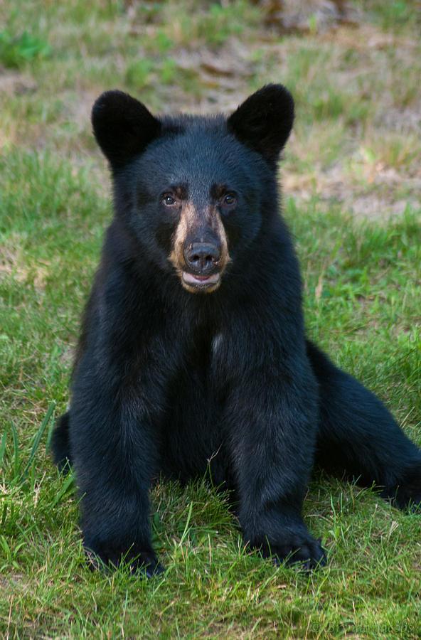 Black Bear Photograph - Boo-boo The Little Black Bear Cub by Brenda Jacobs