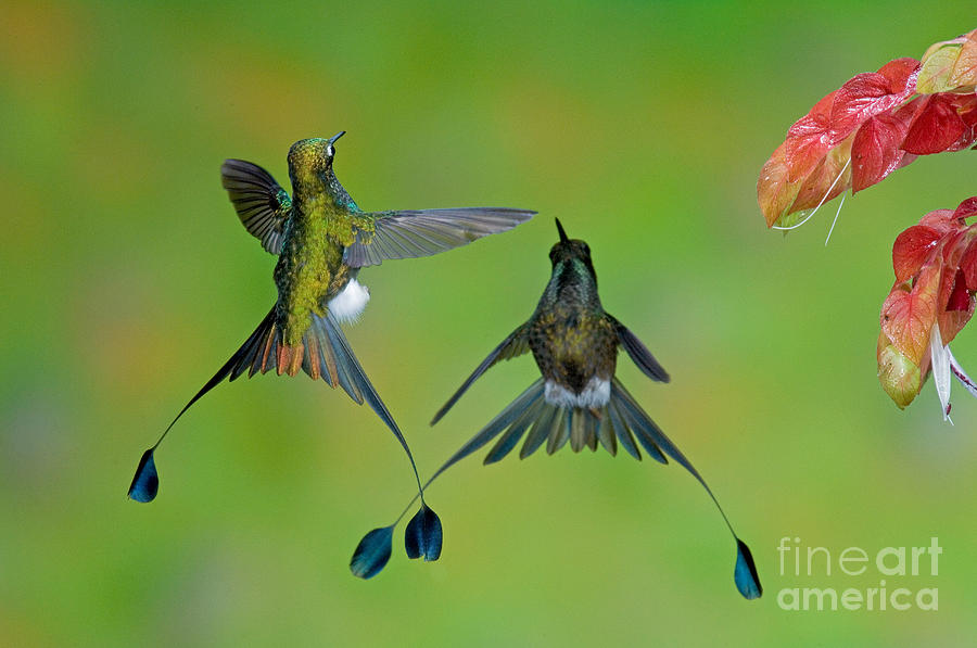 Fauna Photograph - Booted Racket-tail Hummingbird Males by Anthony Mercieca