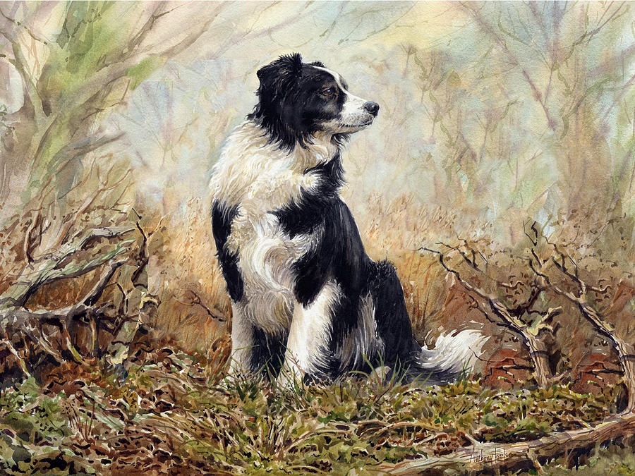 Collie Painting - Border Collie by Anthony Forster