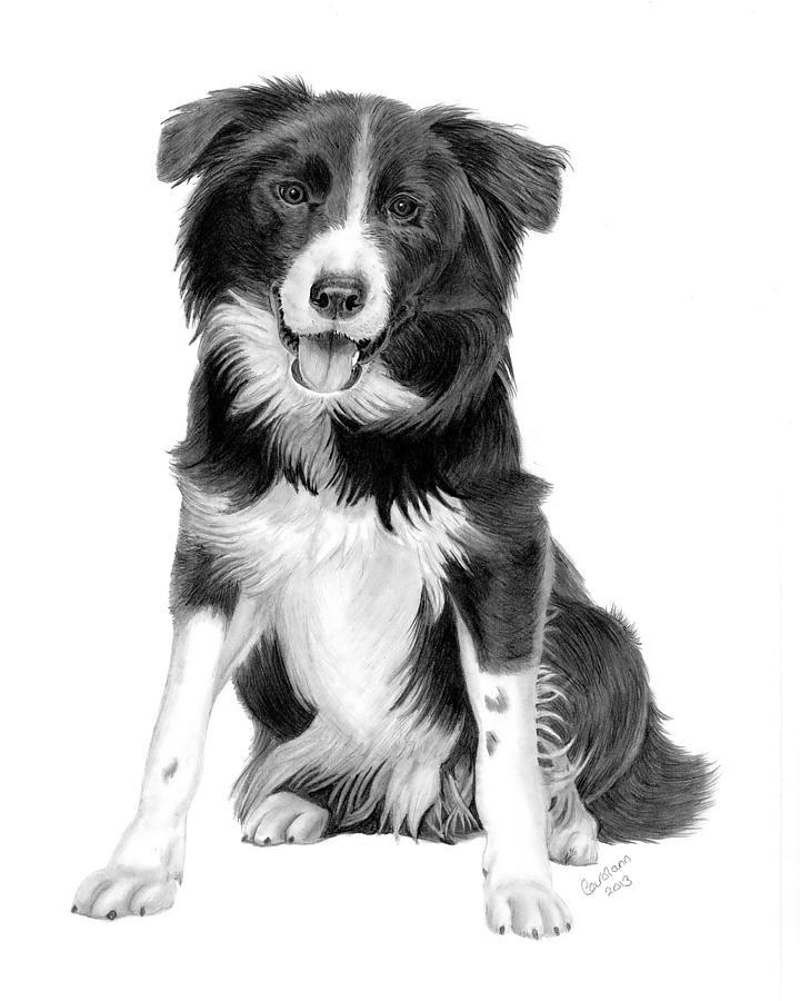 Border Collie Drawing By Carol Doran