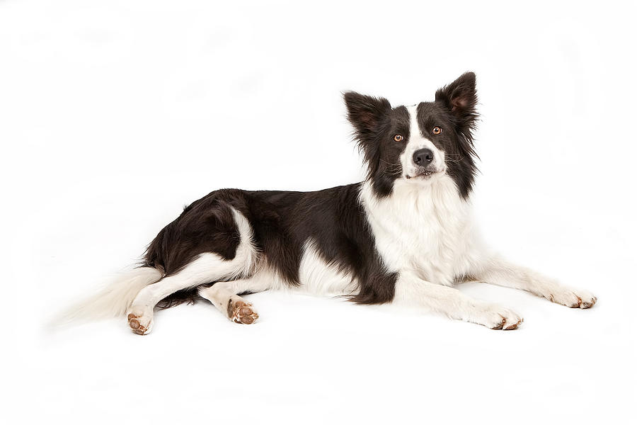 Dog Photograph - Border Collie Dog Looking Forward by Susan Schmitz