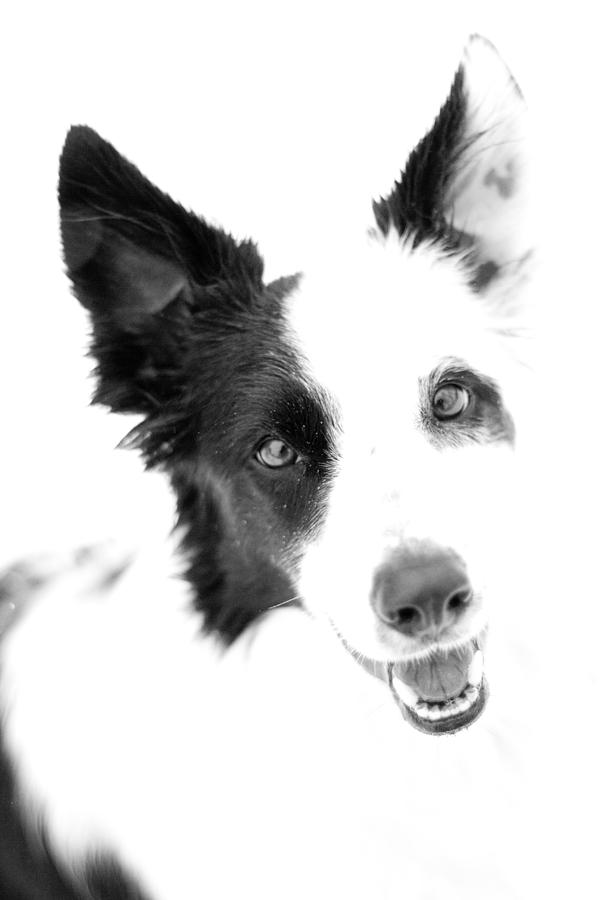 Dog Photograph - Border Collie  by Paulina Szajek