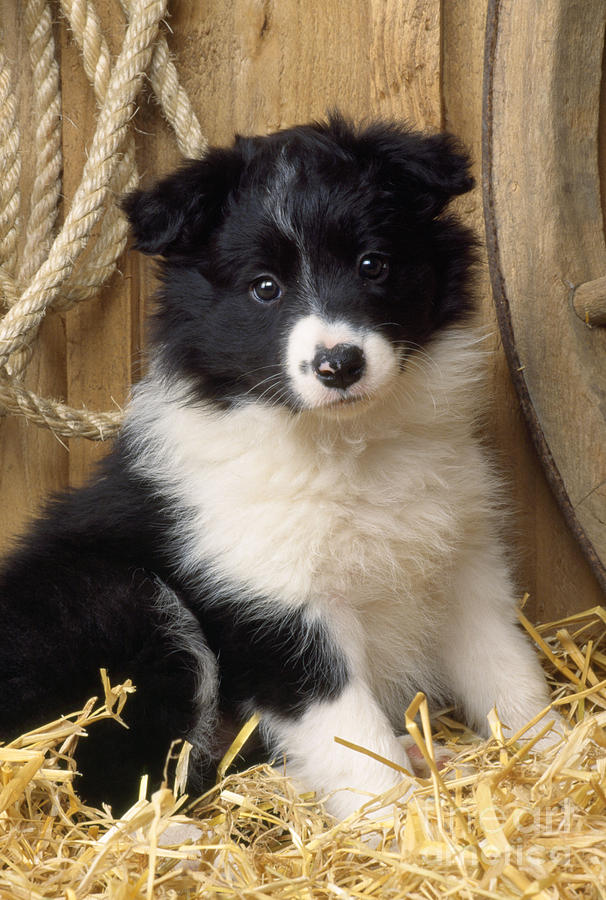 Border Collie Puppy Dog Photograph By John Daniels