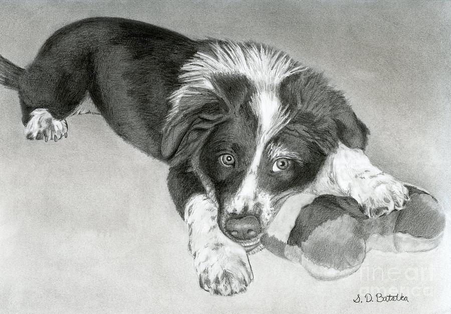Border Collie Drawing - Border Collie Puppy by Sarah Batalka