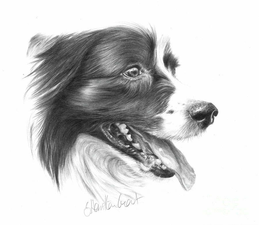 Dog Drawing - Border Grin by Sheona Hamilton-Grant