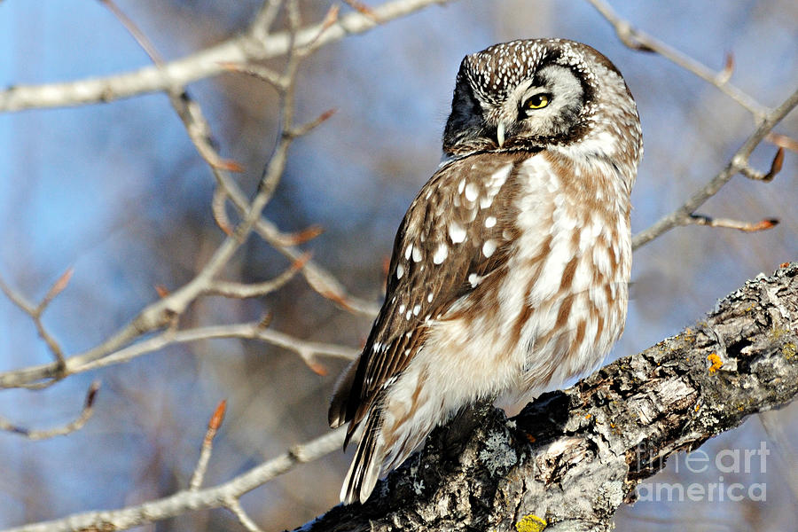 Nature Photograph - Boreal Owl by Larry Ricker