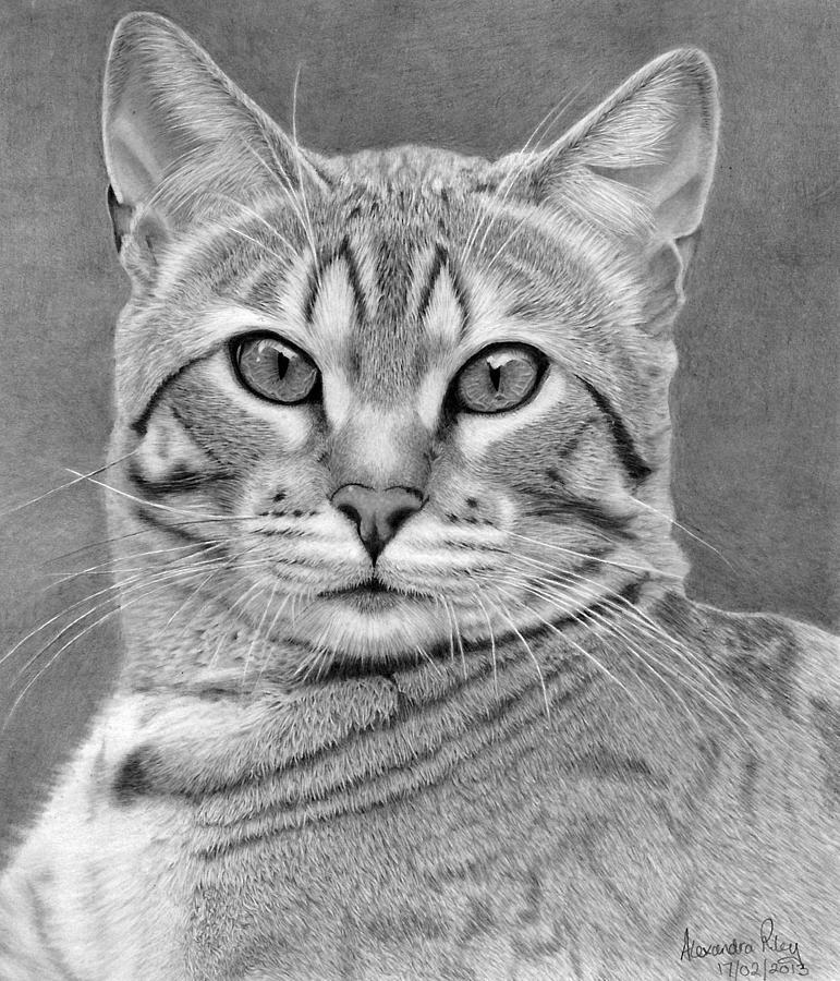 Boris My Bengal Cat Drawing By Alexandra Riley