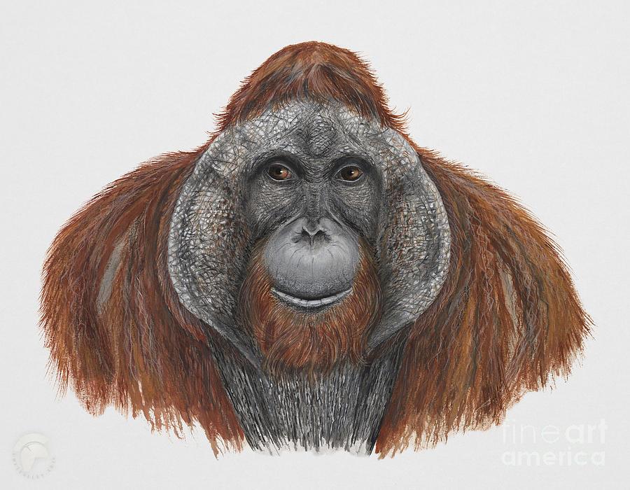 Bornean Orangutan - Pongo Pygmaeus - Orang-utan - Orango Del Borneo - Orangotango - Borneoranki Painting