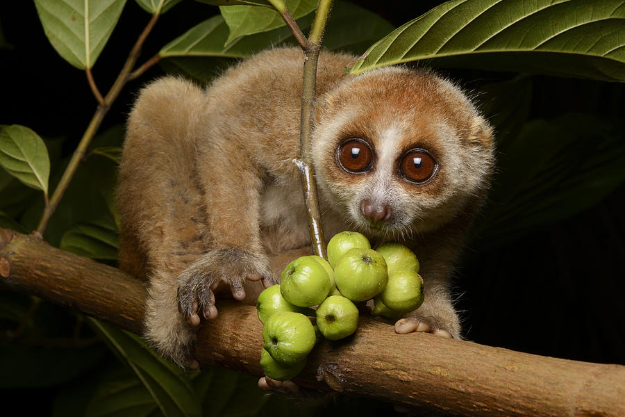 Bornean Slow Loris At Night Kuching Photograph By Ch Ien Lee