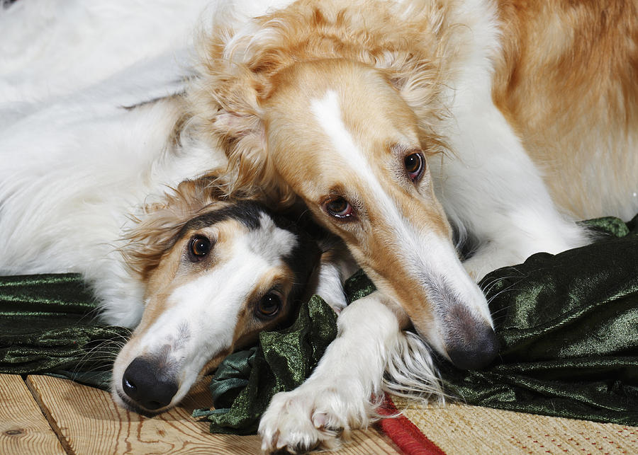 Borzoi Photograph - Borzoi Dogs In Love by Christian Lagereek