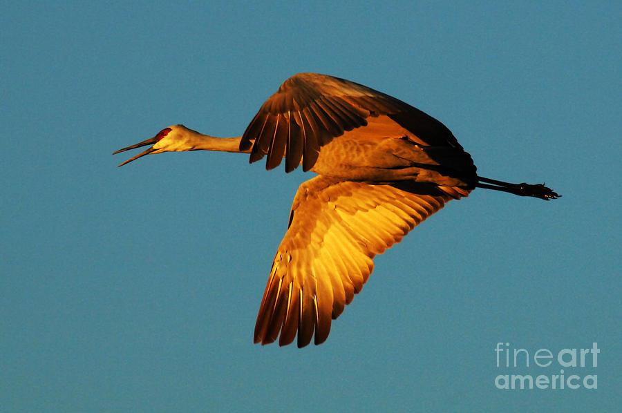 Bosque Del Apache Photograph - Bosque Del Apache Sandhill Crane Golden Light by Bob Christopher