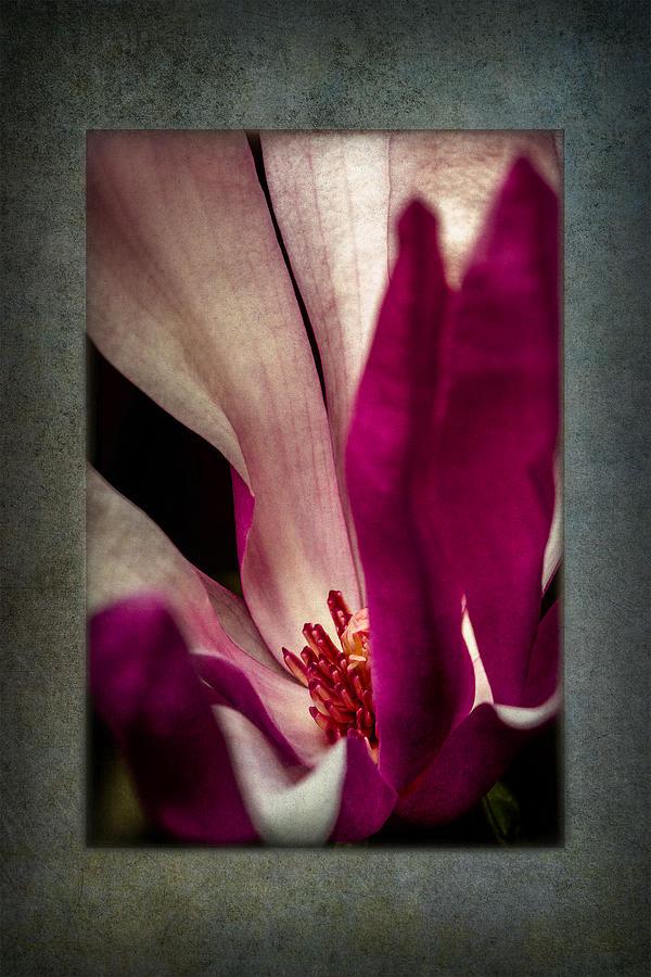 Spring Photograph - Boston Magnolia by Eduard Moldoveanu