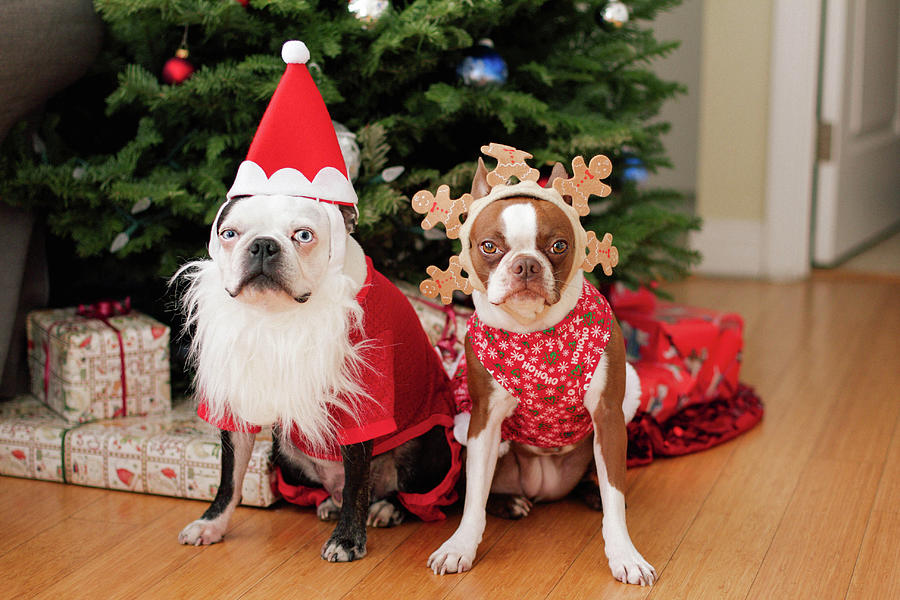 Boston Terrier Christmas Photograph by Genevieve Morrison