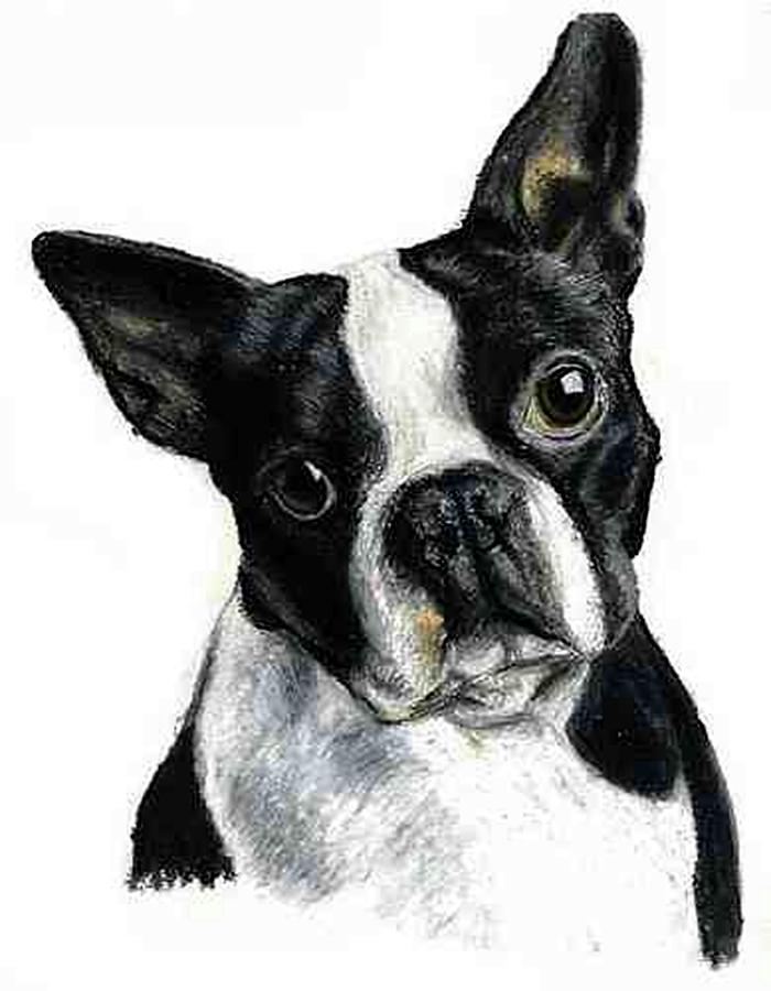 boston terrier drawings boston terrier dog portrait drawing by olde time mercantile 5438