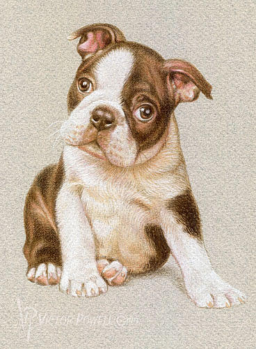 Boston Terrier Puppy Portrait Drawing - Boston Terrier Puppy Portrait by Victor Powell