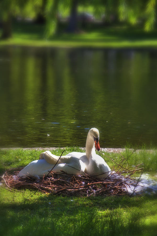 Fauna Photograph - Bostons Romeo And Juliet Swans by Joann Vitali