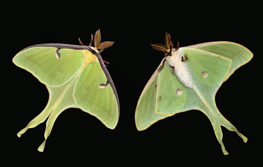 Luna Moth Photograph - Both Sides Now by Kristin Elmquist