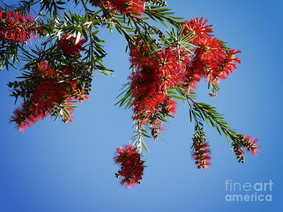 Tree Photograph - Bottle Brushing The Sky by Meghan at FireBonnet Art