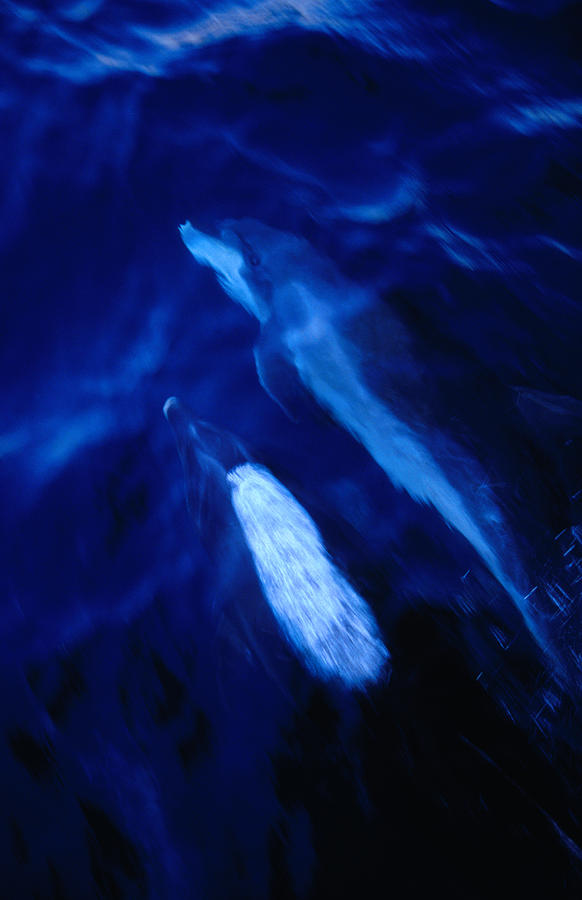 Bottle-nosed Dolphins Tursiops Photograph by Richard Ianson