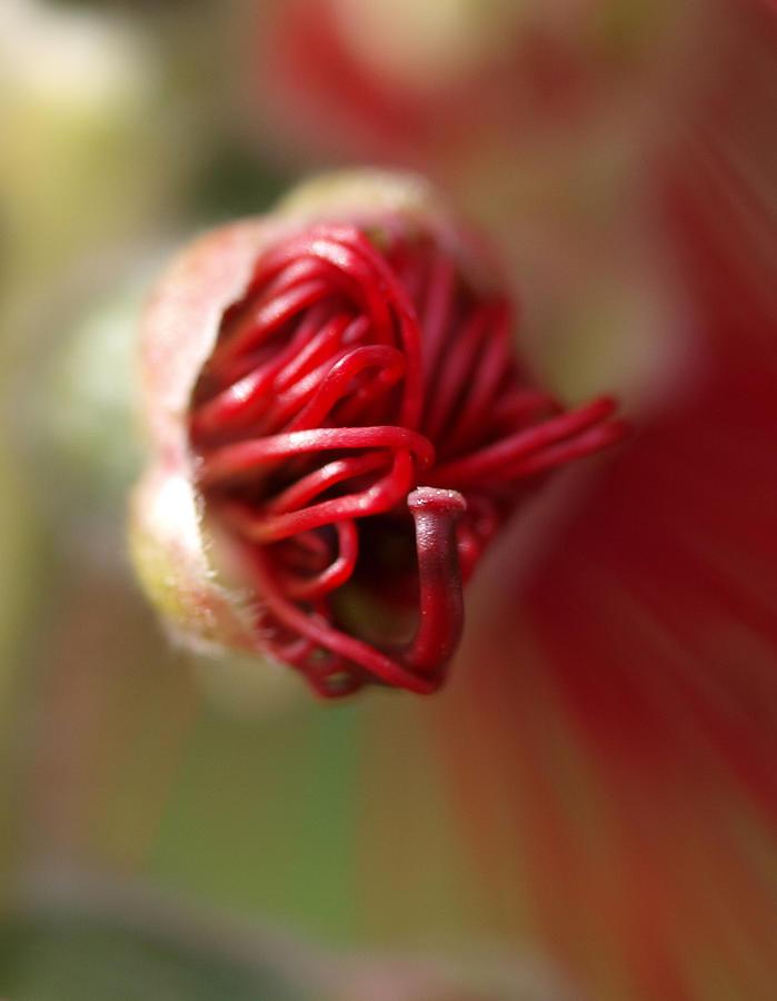 Macro Photograph - Bottlebrush Bud by Michaela Perryman