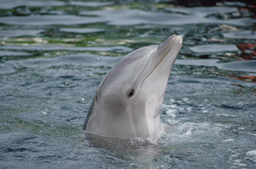 Bottlenose Dolphin Group Underwater Photograph by Flip Nicklin
