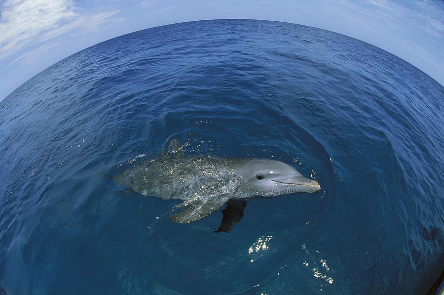 Bottlenose Dolphin Surfacing Honduras Photograph by Konrad Wothe