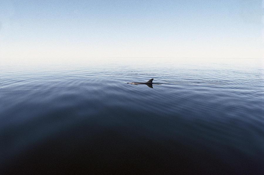 Bottlenose Dolphin Surfacing Shark Bay Photograph by Flip Nicklin