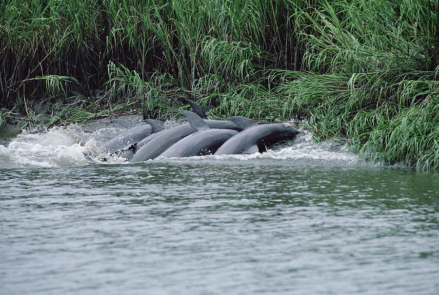 Bottlenose Dolphins Fishing Mud Banks Photograph by Flip Nicklin