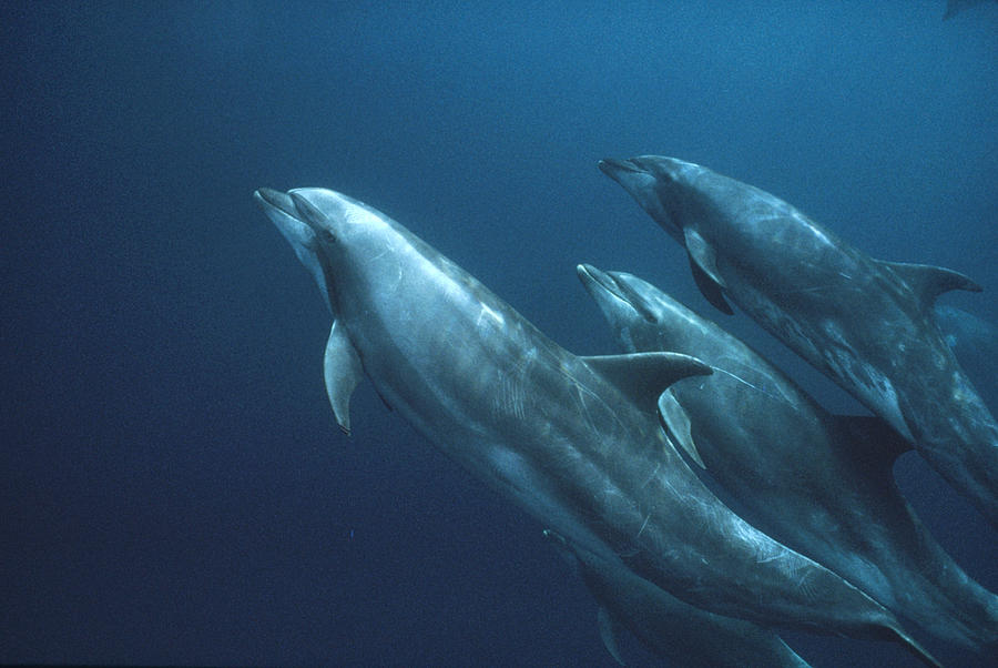 Bottlenose Dolphins Galapagos Islands Photograph by Mark Jones