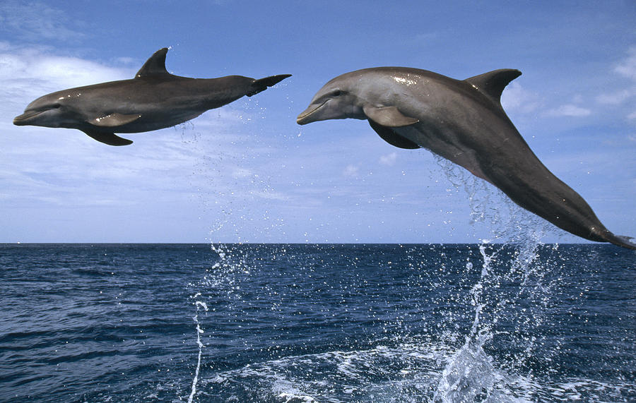 Bottlenose Dolphins Leaping Honduras Photograph by Konrad Wothe
