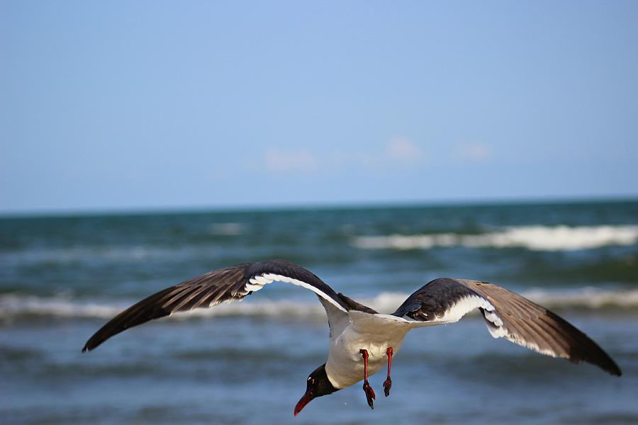Laughing Gull Photograph - Bottoms Up by Candice Trimble