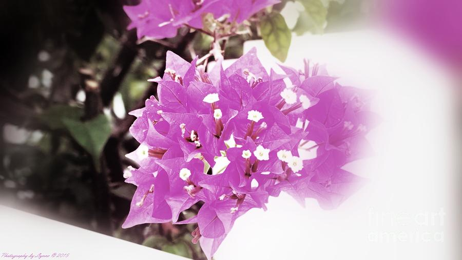 Bougainvillea Bloom Photograph