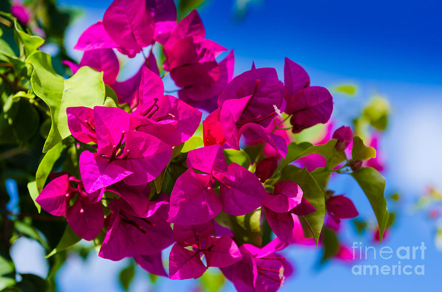 Tropical Photograph - Bougainvillea by Mary Ann Tardif