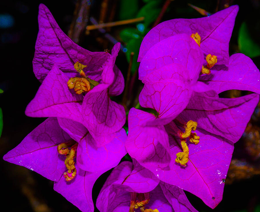 Purple Flower With Yellow Center Photograph - Bougainvillea Matte Touch by Lisa Cortez