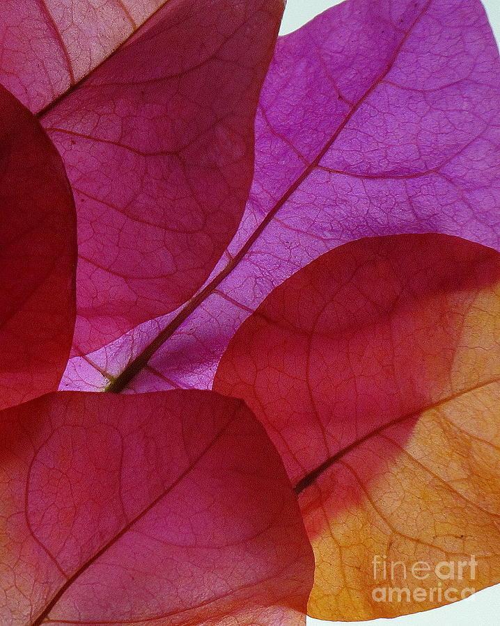 Flora Photograph - Bougainvillea by Ranjini Kandasamy
