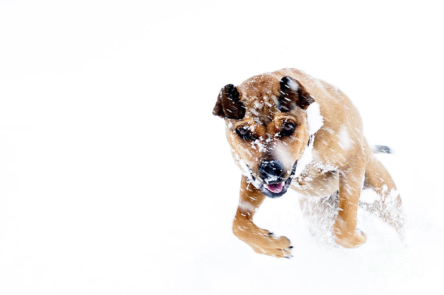 Snow Photograph - Bounding In Snow by Thomas R Fletcher