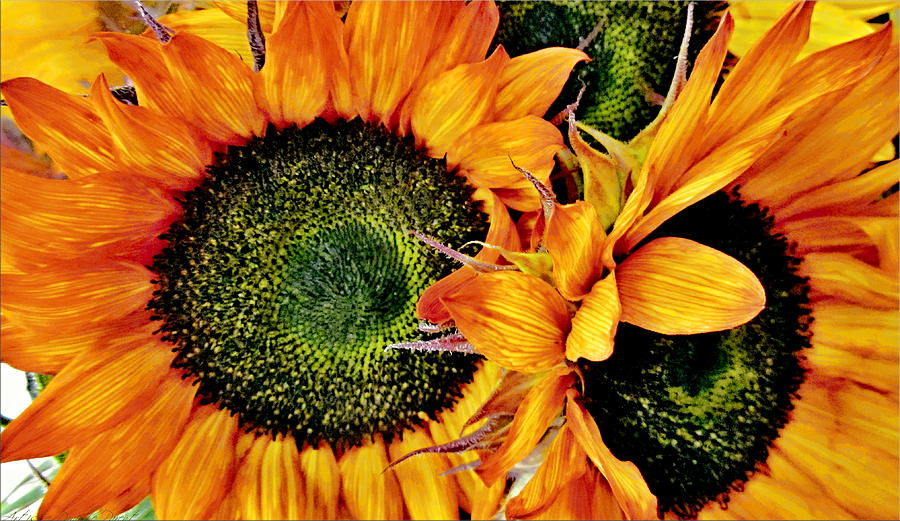 Hamilton Photograph - Bouquet Of Sunflowers by Danielle  Parent