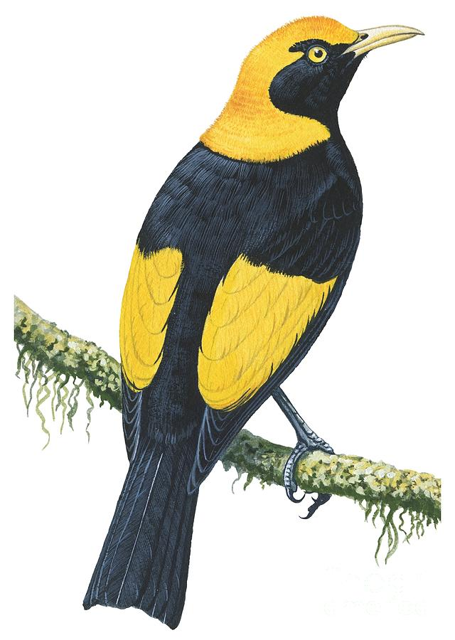 Bird Drawing - Bowerbird  by Anonymous