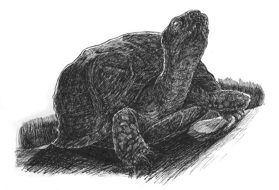 box turtle study drawing by john disher